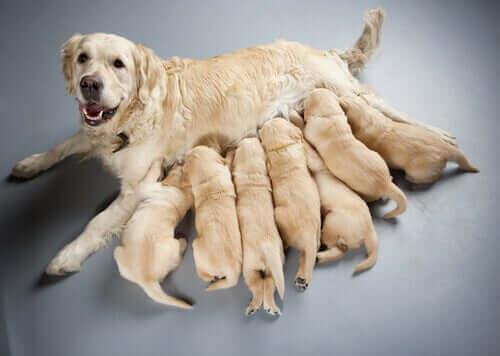 emziren köpek