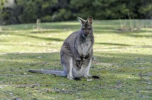 gri kanguru etrafına bakıyor ve common wallaroo