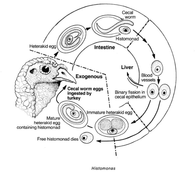 parazitler yoluyla bulaşan histomonas