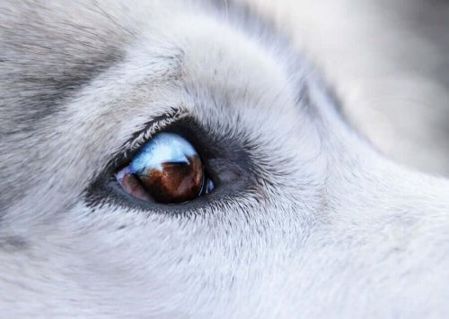 Köpeklerin Göz Çevresindeki Siğiller