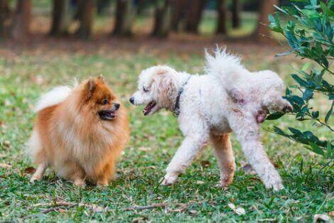 köpeklerde koku bırakma