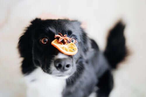 C Vitamini Köpekler İçin Çok mu Gerekli?
