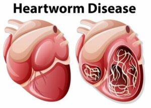 Kalp kurdu oldukça ciddi bir parazit.