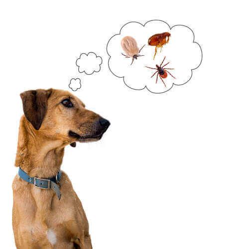köpeklerde kaşıntı ve kan emici parazitler