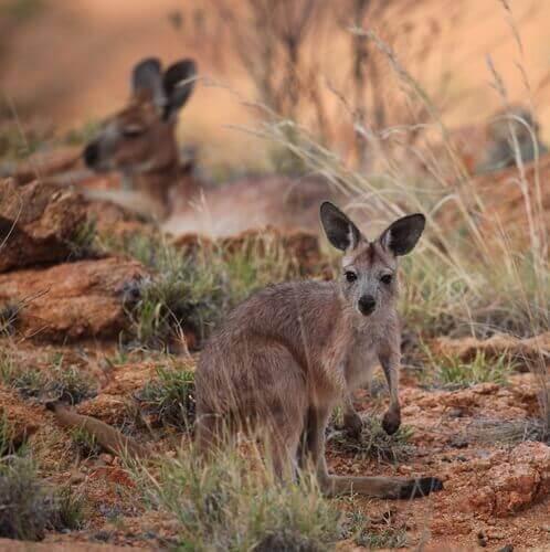 çalılar arasında yaşayan kangurular