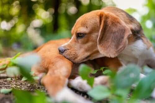 Köpeklerde Parazit Tedavisi için 5 İpucu