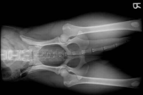 eklemleri gösteren film ve köpeklerde eklem problemleri