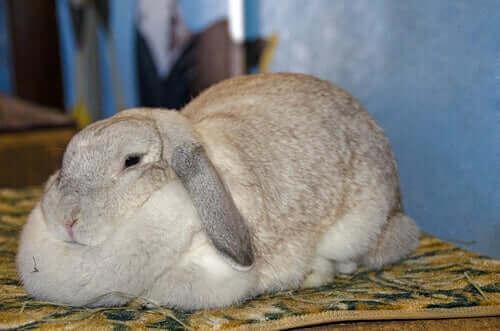 Tavşanlarda Obezite: Sebepleri ve Semptomları
