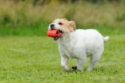 kong ile oynayan köpek