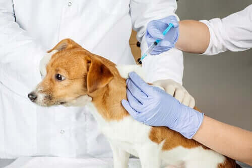 aşı olan köpek