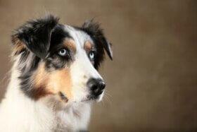 Hayvan Zekası: Köpeğiniz Sizi Yönlendirebilir Mi?
