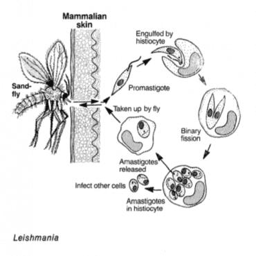 parazit ile layşmanyaz hastalığı