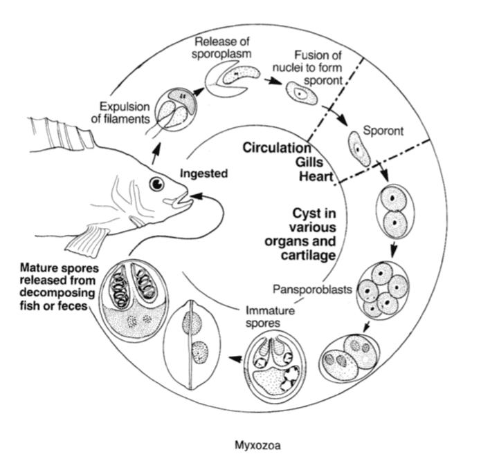miksozoa diyagramı