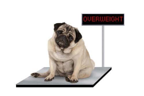 obezite sorunu yaşayan kilolu köpek