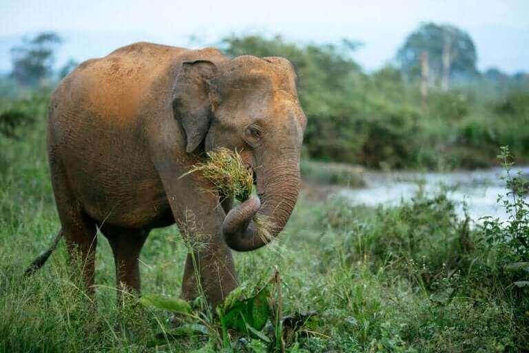 doğal ortamında otlayan fil
