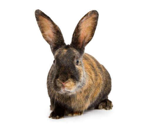 ala tavşan