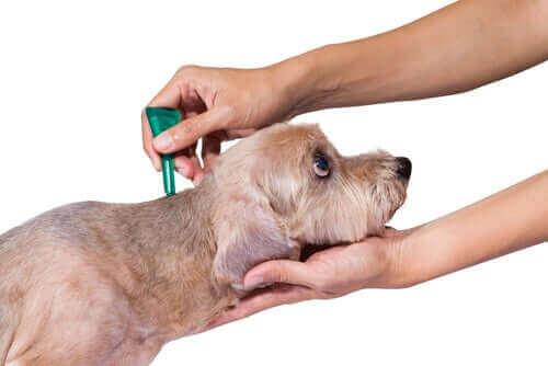 köpeklerde parazit tedavisi