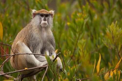 Patas Maymunu: Olağanüstü Bir Primat