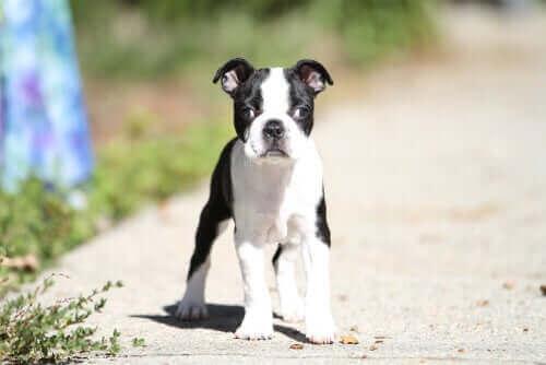 Köpeklerde Strabismus: Sebepleri ve Tedavileri