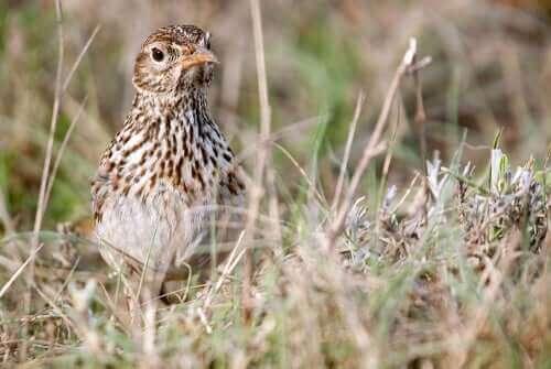 Dupont Tarla Kuşu: Özellikleri Ve Korunması