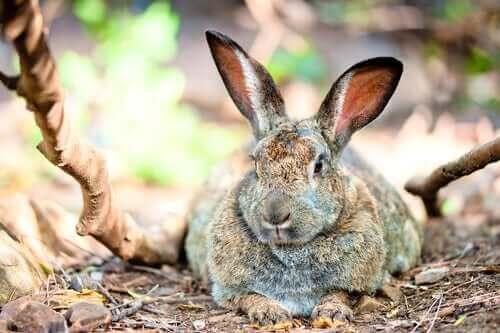 tavşanlarda obezite