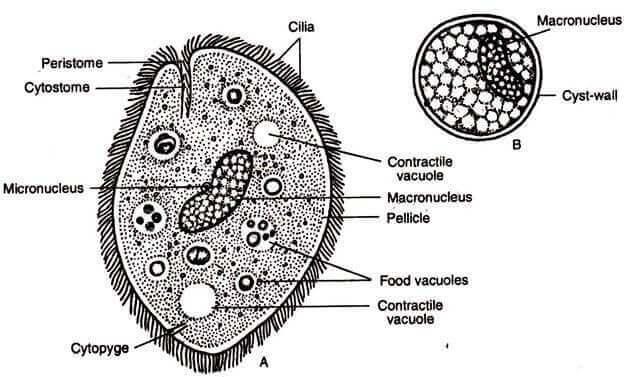 tek hücreli parazitler ile ilgili çizim