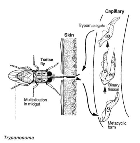 çeçe sineğinin tripanozom bulaştırması