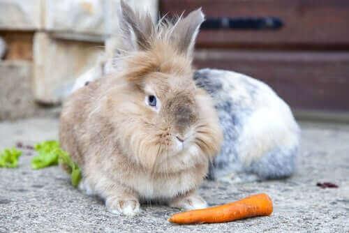 tavşan havuca bakıyor