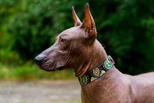 Tüysüz Meksika Köpeği: Antik Çağlara Ait Bir Tür