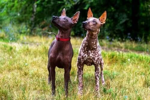 tüysüz köpekler etrafa bakıyor ve tüysüz Meksika köpeği