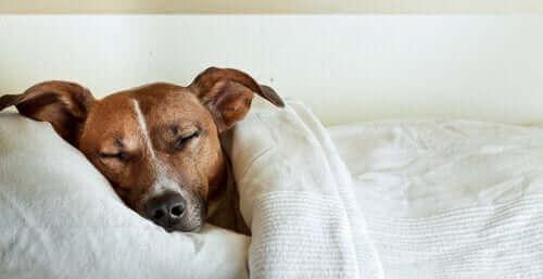 köpeklerde karın ağrısı