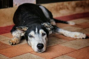 Köpeklerde kireçlenme semptomları