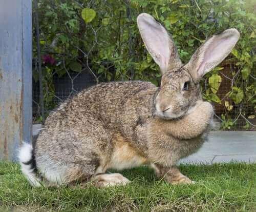 büyük tavşan