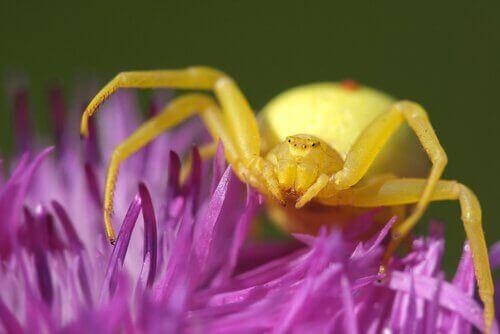 Yeşil örümcek