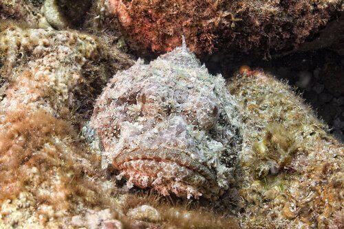 Kaya Balığı: Kamuflaj Ustası