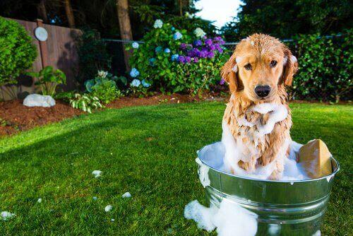 Köpek kovada banyo yapıyor