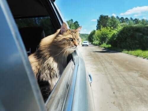 araba camından bakan kedi
