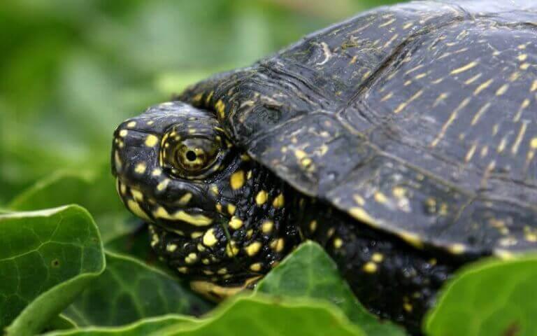 İspanya'daki kaplumbağalar