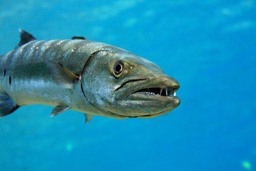 Barakuda: Saldırgan ve Öngörülemez Bir Balık