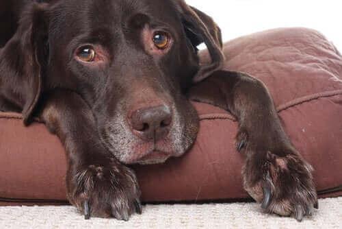 Köpekler Baş Ağrısı Çekerler mi?