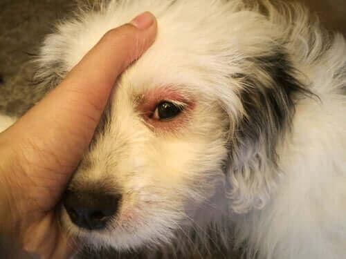 beyaz köpek ve köpeklerde enfeksiyon