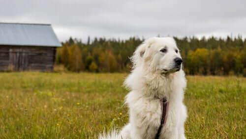 Büyük Pirene Köpeği
