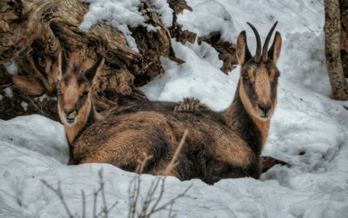 Gizemli Pirene Dağ Keçisi İle Tanışın