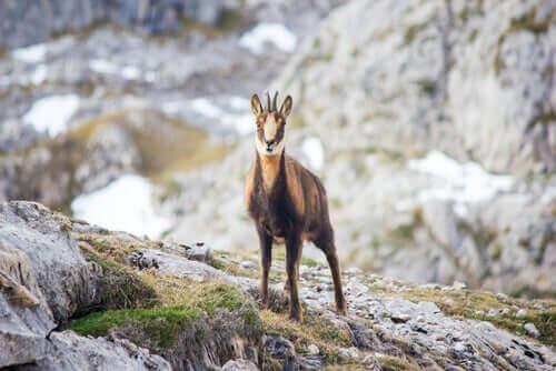 dağlık bölgede yaşayan Pirene dağ keçisi