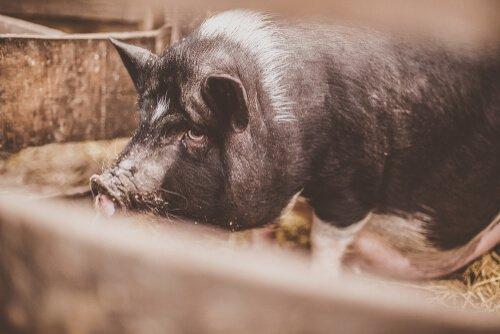 istilacı yetişkin domuz