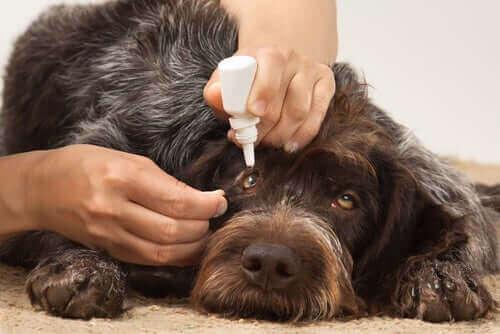 Köpeklerde Göz Enfeksiyonu: Sebepleri ve Tedavisi