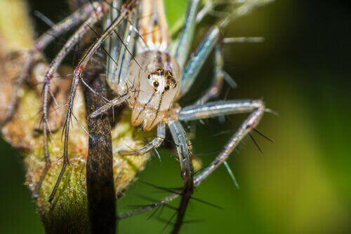 Gülen Örümcekler: Davranışları ve Yaşam Alanları