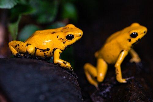 Altın kurbağalar