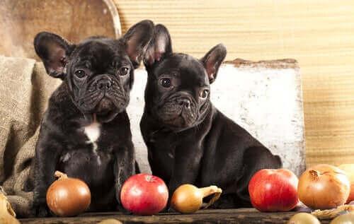 köpeklerin yememesi gereken yiyecekler