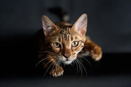 Kedilerin Ön Patilerindeki Kıllar: Carpal Vibrissae